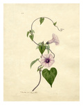 Convulvulus Giclee Print by John Curtis