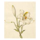 Lilium candidum Giclee Print by Caroline Maria Applebee