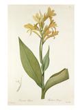 Canna glauca Giclee Print by Pierre-Joseph Redouté