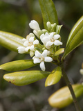 Pittosporum tobira Photographic Print by Carol Sheppard