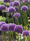 Allium His Excellency Photographic Print by Carol Sheppard