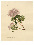 Rhododendron indicum Premium Giclee Print by John Curtis