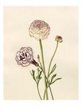 Dianthus plumarius: Ranunculus asiaticus Giclee Print by Caroline Maria Applebee