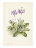 Primula fortunei Giclee Print by Lilian Snelling