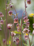 Geum rivale Photographic Print by Carol Sheppard