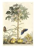 1. Papaya, 2. Ana gallis, 3. Gramen Giclee Print by Georg Dionysius Ehret