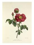 Damask Rose Giclee Print by Charles Joseph Hullmandel
