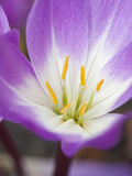Colchicum Glory of Heemstede Photographic Print by Carol Sheppard