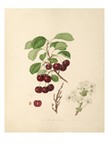 The Morello Cherry Giclee Print by William Hooker