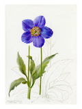 Meconopsis grandis Giclee Print by Lilian Snelling