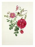 Rosa multibracteata, Rosa Cerise Bouquet Giclee Print by Graham Stuart Thomas