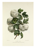 Gelder Rose Reproduction procédé giclée par Charles Joseph Hullmandel
