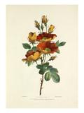 Austrian Rose Giclee Print by Charles Joseph Hullmandel