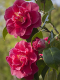 Camellia × williamsii William Carlyon Photographic Print by Carol Sheppard