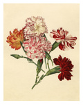 Dianthus caryophyllus Giclee Print by Caroline Maria Applebee