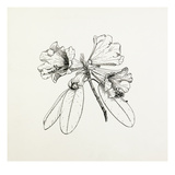 Rhododendron hybrid Impression giclée par Graham Stuart Thomas