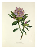 Rhododendron Premium Giclee Print by Charles Joseph Hullmandel