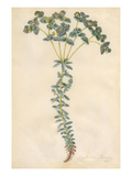 Euphorbia paralias Giclee Print by Georg Dionysius Ehret