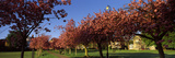 Cherry Blossom in a Park, Stray, Harrogate, North Yorkshire, England Photographic Print by  Panoramic Images