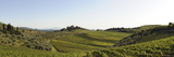 Olive Trees with a Vineyard on a Landscape, Chianti Region, Radda in Chianti, Siena Province, Tu... Photographic Print by  Panoramic Images
