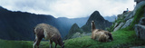 Alpacas (Vicugna Pacos) in a Field with Mountains in the Background, Machu Picchu, Cusco Region,... Photographic Print by  Panoramic Images