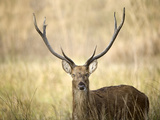 Close-Up of a Swamp Deer (Rucervus Duvaucelii), Kanha National Park, Madhya Pradesh, India Photographic Print by Green Light Collection