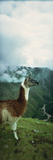 Alpaca (Vicugna Pacos) on a Mountain, Machu Picchu, Cusco Region, Peru Photographic Print by  Panoramic Images