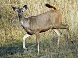 Sambar (Cervus Unicolor) Running in a Forest, Bandhavgarh National Park, Umaria District, Madhya... Photographic Print by Green Light Collection