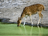 Spotted Deer (Axis Axis) Drinking Water from a Lake, Bandhavgarh National Park, Umaria District,... Photographic Print by Green Light Collection