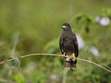 Snail Kite (Rostrhamus Sociabilis) Perching on a Branch, Three Brothers River, Meeting of the Wa... Photographic Print by Green Light Collection