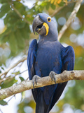 Close-Up of a Hyacinth Macaw (Anodorhynchus Hyacinthinus), Three Brothers River, Meeting of the ... Impressão fotográfica por Green Light Collection