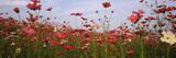 Cosmos Flowers Blooming in a Field, South Africa Photographic Print by  Panoramic Images