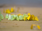 Swarm of Sulphur Butterflies, Three Brothers River, Meeting of the Waters State Park, Pantanal W... Photographic Print by  Green Light Collection