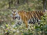 Bengal Tiger (Panthera Tigris Tigris) in a Forest, Bandhavgarh National Park, Umaria District, M... Photographic Print by Green Light Collection