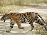 Bengal Tiger (Panthera Tigris Tigris) Walking in a Forest, Bandhavgarh National Park, Umaria Dis... Photographic Print by Green Light Collection