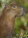 Close-Up of a Capybara (Hydrochoerus Hydrochaeris), Three Brothers River, Meeting of the Waters ... Photographic Print by  Green Light Collection