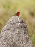 Vermilion Flycatcher (Pyrocephalus Rubinus) on a Rock, Three Brothers River, Meeting of the Wate... Papier Photo par Green Light Collection