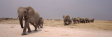 Herd of Female African Elephants (Loxodonta Africana) with their Calves, Etosha National Park, K... Photographic Print by  Panoramic Images