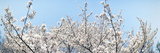 Cherry Blossom Trees, Tokyo Prefecture, Japan Photographic Print by  Panoramic Images