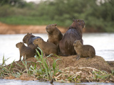 Capybara (Hydrochoerus Hydrochaeris) Family on a Rock, Three Brothers River, Meeting of the Wate... Photographic Print by Green Light Collection