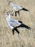 Secretary Birds (Sagittarius Serpentarius) Foraging, Masai Mara National Reserve, Rift Valley Pr... Photographic Print by Green Light Collection