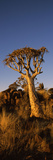Quiver Tree (Aloe Dichotoma) at Sunset, Namibia Photographic Print by  Panoramic Images