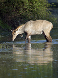 Nilgai (Boselaphus Tragocamelus) Drinking Water from a Lake, Keoladeo National Park, Rajasthan, ... Photographic Print by Green Light Collection