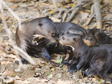 Giant Otter (Pteronura Brasiliensis) with its Cubs, Three Brothers River, Meeting of the Waters ... Photographic Print by  Green Light Collection