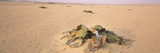 Welwitschia (Welwitschia Mirabilis) Plant Growing in a Desert, Swakopmund, Namibia Photographic Print by  Panoramic Images