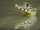 Close-Up of a Caiman in Lake, Pantanal Wetlands, Brazil Lámina fotográfica
