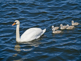 Swan with its Cygnets Swimming in a Lake, Stockholm, Sweden Photographic Print