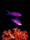 Purple Anthias (Pseudanthias Tuka) Swimming Underwater Photographie