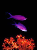 Purple Anthias (Pseudanthias Tuka) Swimming Underwater Photographic Print