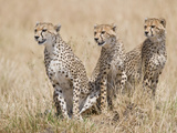 Cheetah (Acinonyx Jubatus) Cubs in a Forest, Kenya Photographic Print